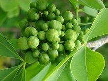 Aegle Marmelos - Bael Frutta/Stone Apple - Rare