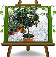 Agrumi Arancio Washington Navel Piante da Frutto
