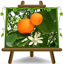 Agrumi Mandarino - Pianta da Frutto - vaso in