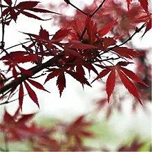 Alberello di acero rosso Acero rosso giapponese
