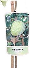 Albero di Chirimoya pianta di Annoa Cherimola