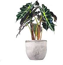Alocasia polly Flob flower| Alocasia pianta in