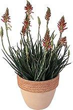 Aloe 'Safari sunrise' in vaso terracotta