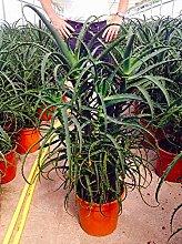 Aloe arborescens caespitosa 100 cm, cactus, pianta