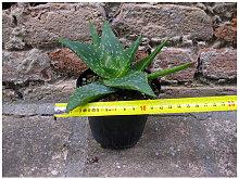Aloe saponaria 20 cm, cactus, pianta grassa