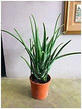 Aloe vera 70 cm, cactus, pianta grassa
