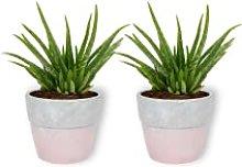 Aloë Vera Clumb - Set di 2 piante da interni in