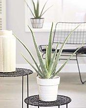 Aloe Vera Pianta Grassa Calmante da Interno in