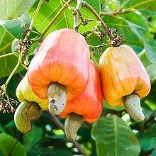 Anacardio Apple, Anacardium occidentale, Rare