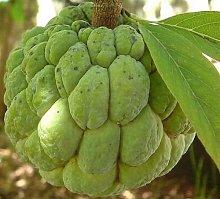 Annona squamosa - Sugar Apple - Rare semi