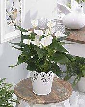 Anthurium Laceleaf bianco | Pianta decorativa da