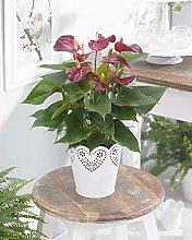 Anthurium Laceleaf Viola | Pianta per la