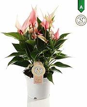 Anthurium Lilli - Altezza 40 - Diametro vaso 12