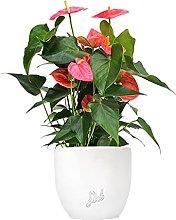 Anthurium Rosa Altezza 45 cm, Pianta Vera, Pianta