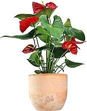 Anthurium Rosso Altezza 45 cm, Pianta Vera, Pianta