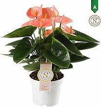 Anthurium Spirit - Altezza 40 - Diametro vaso 12