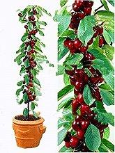 bag ciliegio bonsai 20pcs / semi di frutta dolce