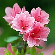Benoon Semi 50 Pz/Borsa Semi Di Rododendro Facile