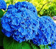blu semi 50pcs geranio Pelargonium hortorum fiori