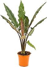 Bonplants Alocasia Lauterbachiana, Pianta Vera