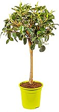 Bonplants Ficus Australis o Rubiginosa, Fico di