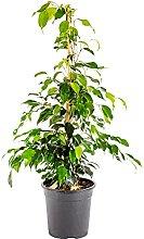 Bonplants Ficus Benjamin, Beniamino Pianta Vera