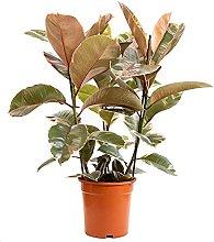 Bonplants Ficus Elastica, Elegante Pianta della