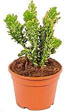 Bonplants Opuntia Monachanta Fico d' India
