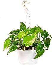 Bonplants Pothos Epipremnum Aureum, Diffusa Pianta