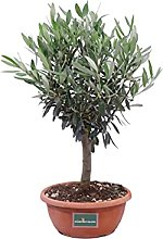 Bonsai di Olivo Bonsai di Ulivo pianta di bonsai