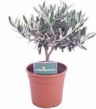 Bonsai di Olivo Green pianta di bonsai di Ulivo