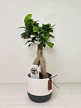 Bonsai Ficus Ginseng, Vaso in ceramica tondo
