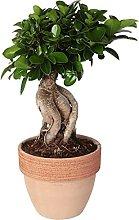 Bonsai Ficus microcarpa 'Ginseng' in vaso