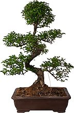 Bonsai Ligustrum ('S' Shape) vaso