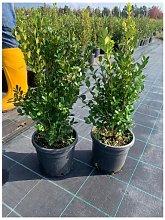 Bosso comune 'Buxus sempervirens' pianta