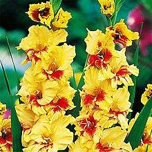 Bulbi di gladiolo,Balcone Fiori da giardino Bonsai