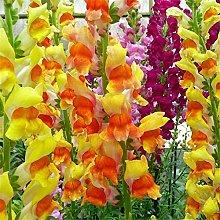 Bulbi di gladiolo,perenne piante perenni