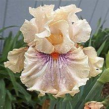 Bulbi Di Iris,Esotiche Reblooming Decorazioni Per