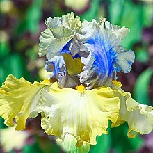Bulbi Di Iris,Fiori Bonsai Splendido Balcone