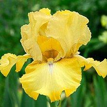 Bulbi Di Iris,Giardino Balcone Fiori Bonsai