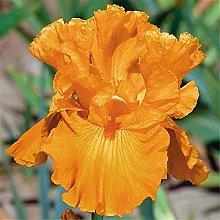 Bulbi Di Iris,Perenne Piuttosto Sbalorditivo