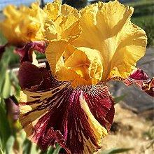 Bulbi Di Iris,Regali Speciale Casa Giardino