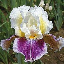 Bulbi Di Iris,Splendidi Fiori Piante Casa Giardino
