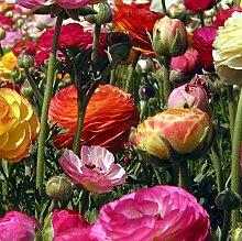 Bulbi di ranuncolo,Resistenti piante da aiuola