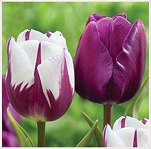 Bulbi di tulipano,Piante Perenni Affascinanti