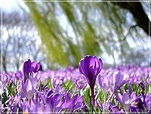 Bulbi Di Zafferano Per Coltivazione,Cortile Verde,