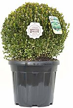 Buxus microphylla 'Faulkner', Bosso,