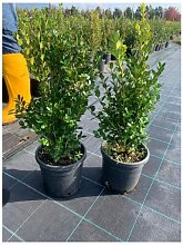 Buxus Sempervirens Elegantissima o Bosso Variegato