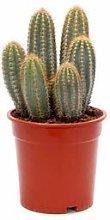 Cactus - Altezza 35 - Diametro vaso 20