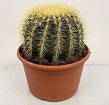 Cactus e pianta grassa da Botanicly – Cuscino